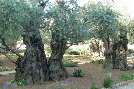 Bild: Silvia Breuhan - Garten Gethsemane, Jerusalem